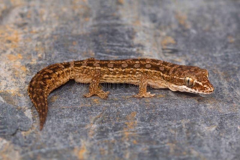 La hoja de Satara tocó con la punta del pie la salamandra, sataraensis de Hemidactylus Chalkewadi, distrito de Satara, maharashtr fotos de archivo