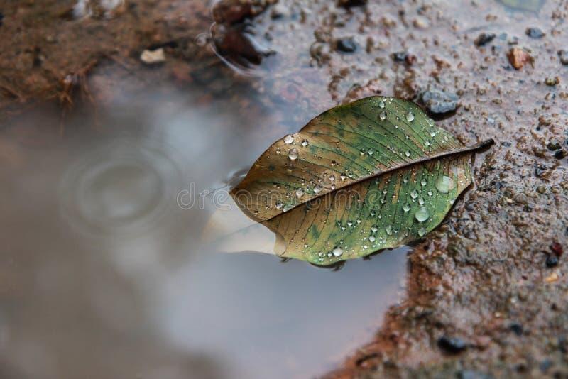 La hoja del otoño en el charco, agua cae en la hoja imagen de archivo