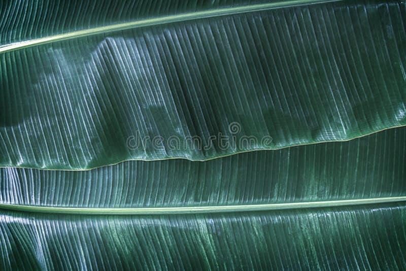 La hoja del plátano tiene hojas muy grandes y se asemeja a una palma La planta se cultiva y crece bien en tropical y subtropical fotos de archivo