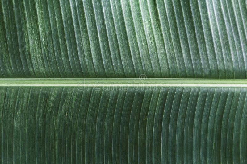 La hoja del plátano tiene hojas muy grandes y se asemeja a una palma La planta se cultiva y crece bien en tropical y subtropical foto de archivo libre de regalías