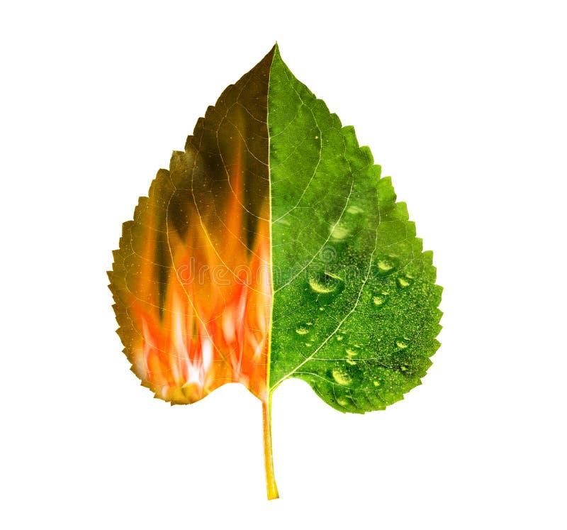 La hoja quemada en un lado, se pone verde en un lado fotos de archivo libres de regalías