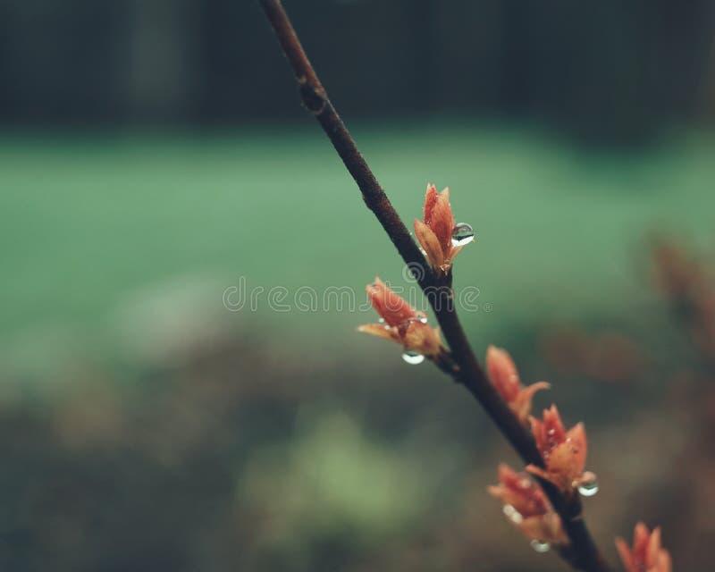 la hoja roja de la rama cae el fondo del verde de la lluvia del jardín imagenes de archivo
