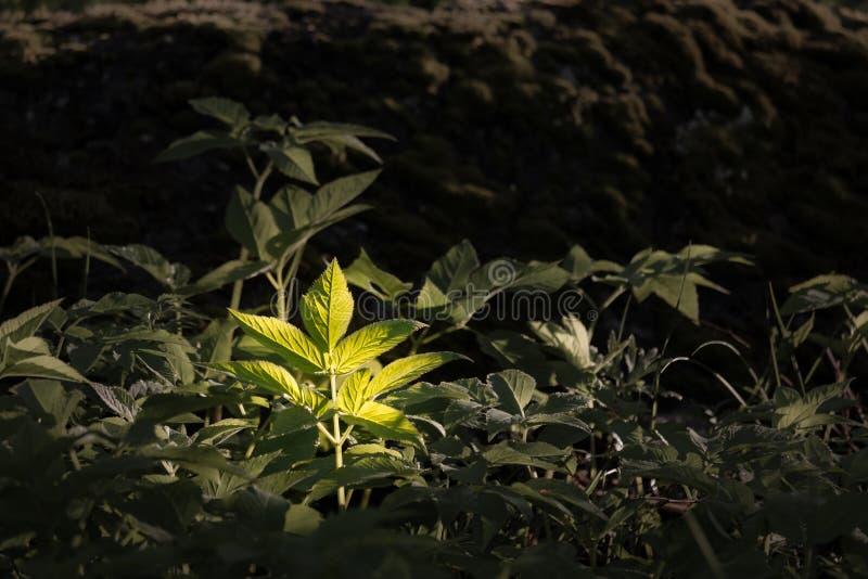La hoja salvaje de la hierba de la anciano de tierra destacó en bosque fotos de archivo libres de regalías