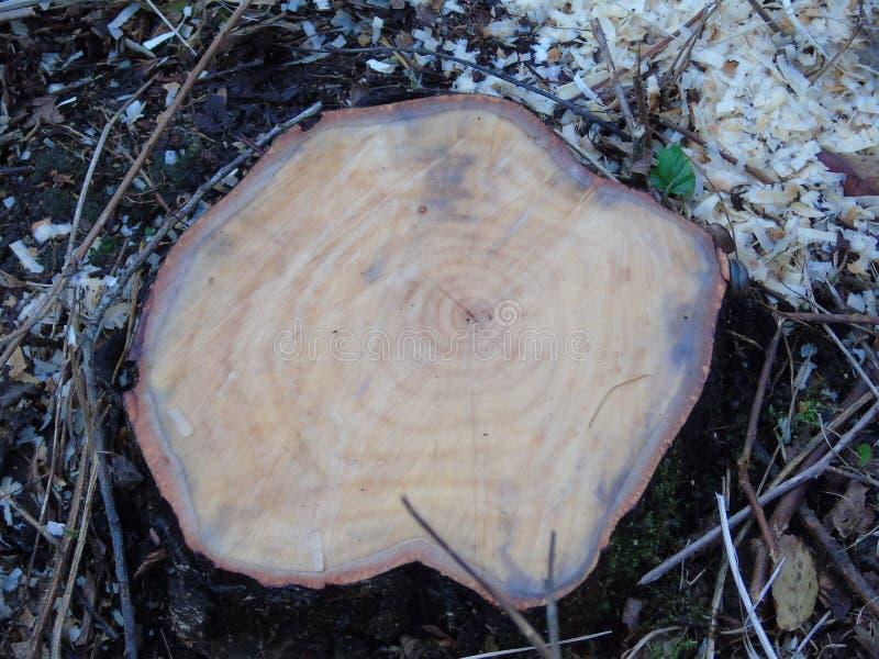 La hoja solitaria crece de árbol recientemente reducido imagen de archivo libre de regalías