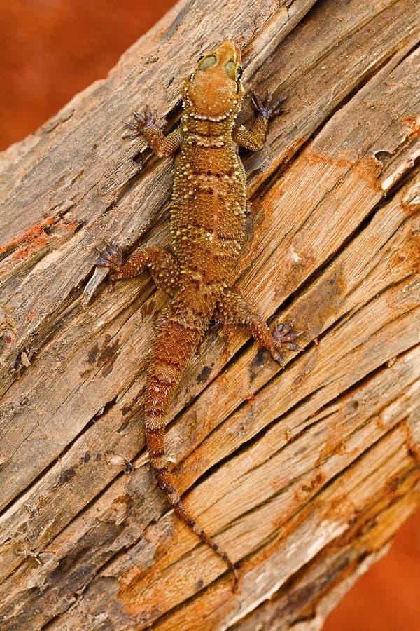 La hoja tocó con la punta del pie la salamandra, parvimaculatus de Hemidactylus, santuario de fauna de Bhoramdeo, Chhattisgarh imagen de archivo