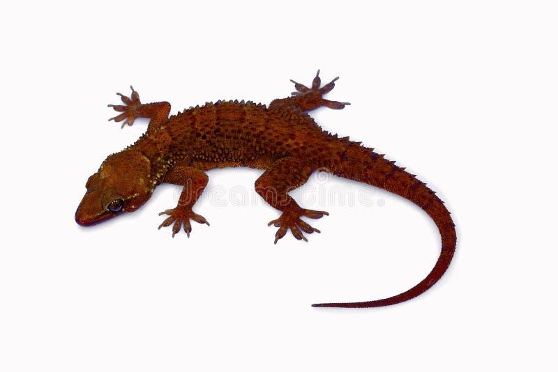 La hoja tocó con la punta del pie la salamandra, parvimaculatus de Hemidactylus, santuario de fauna de Bhoramdeo, Chhattisgarh imagenes de archivo