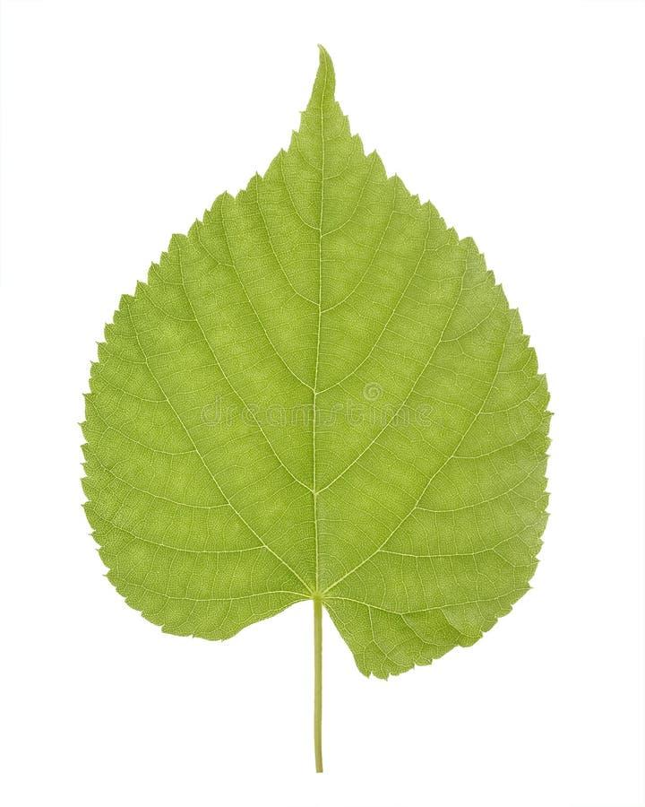 La hoja verde del tilo o del Tilia, llamó comúnmente árboles de cal, o los arbustos de la cal del Tiliaceae o del Malvaceae de la imagenes de archivo