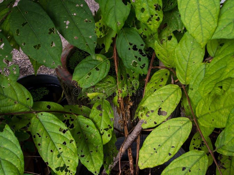 La hoja verde fue comida por los gusanos y los agujeros saltados fotografía de archivo libre de regalías