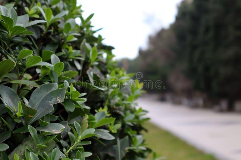 La hoja verde hermosa se va al lado de camino en el parque con el fondo borroso foto de archivo