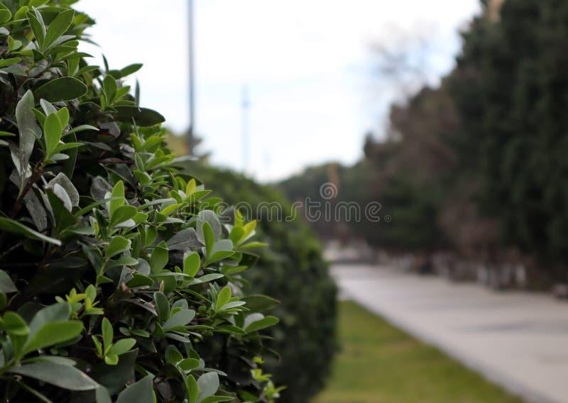 La hoja verde hermosa se va al lado de camino en el parque con el fondo borroso imagen de archivo libre de regalías