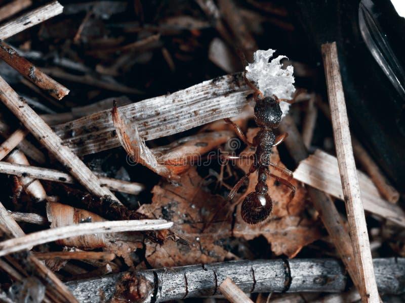 La hormiga es primer fotografía de archivo