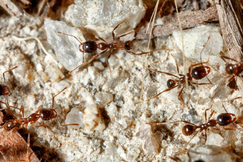 La hormiga es primer imágenes de archivo libres de regalías