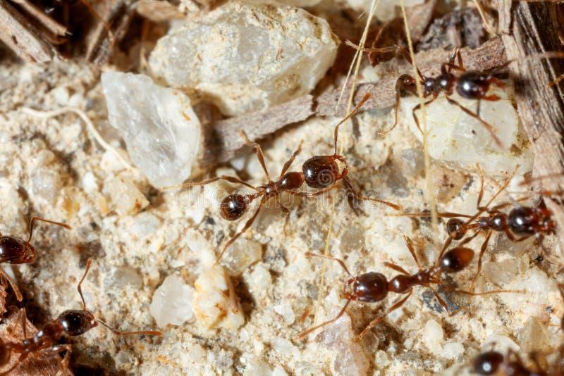 La hormiga es primer foto de archivo