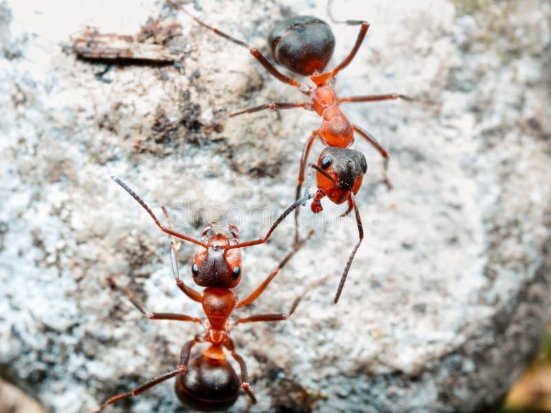 La hormiga es primer fotografía de archivo libre de regalías