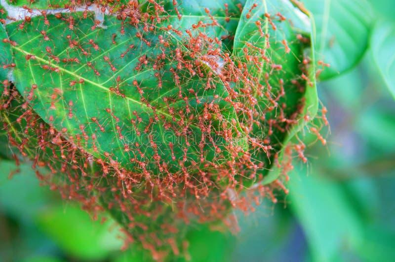 La hormiga roja construye jerarquías en una hoja foto de archivo