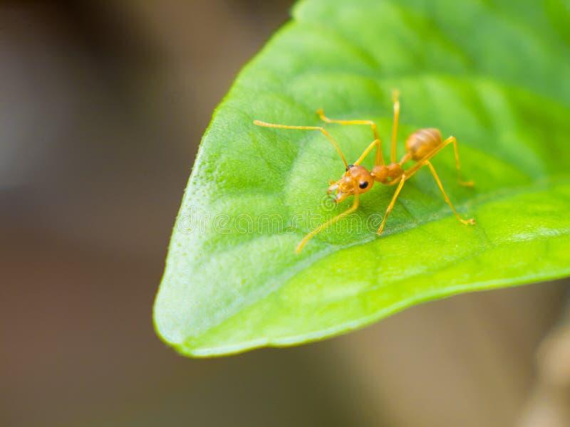 La hormiga roja pegó una manada subida en las hojas verdes fotos de archivo libres de regalías