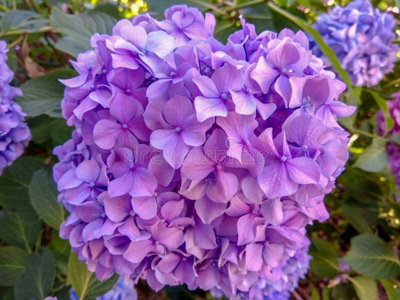 La hortensia es azul y púrpura Las flores están floreciendo en primavera y verano en jardín de la calle de la ciudad imagen de archivo