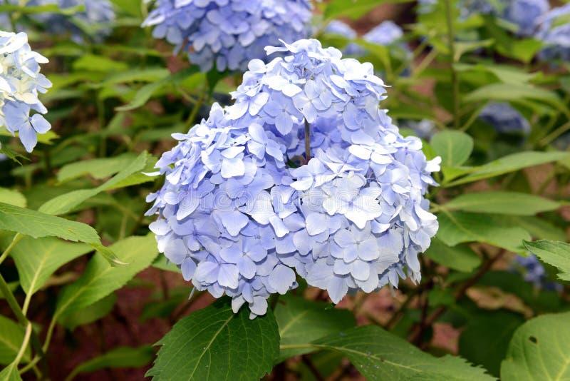 La hortensia florece, puede cambiar colores según la acidez del suelo en el cual están creciendo imágenes de archivo libres de regalías