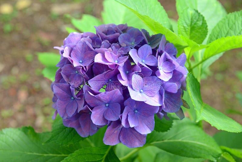 La hortensia florece, puede cambiar colores según la acidez del suelo en el cual están creciendo imagenes de archivo