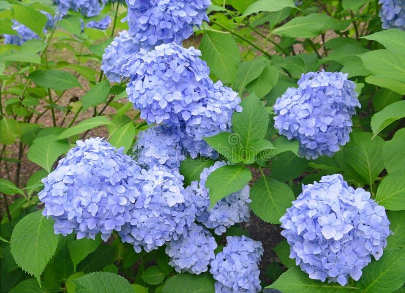 La hortensia florece, puede cambiar colores según la acidez del suelo en el cual están creciendo fotos de archivo