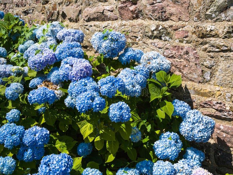 la hortensia tradicional florece cerca de la pared de la casa fotografía de archivo