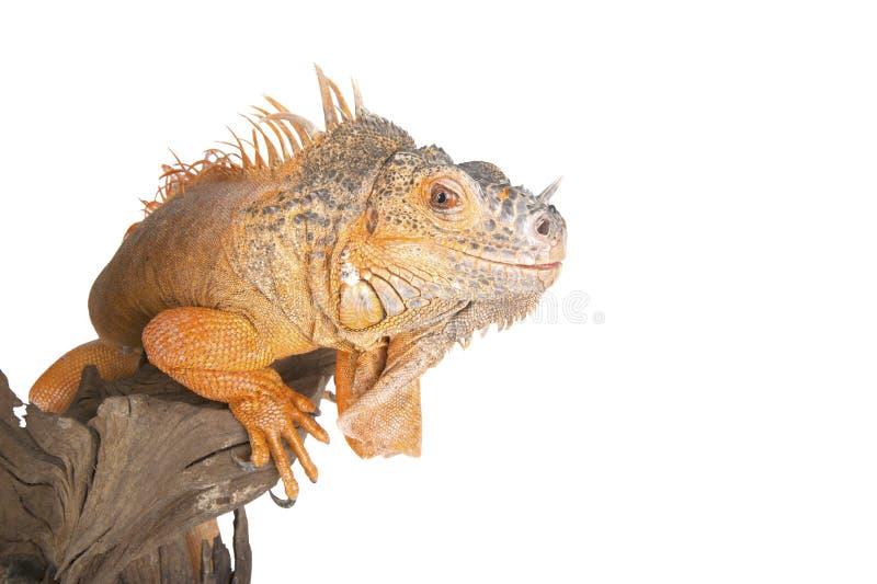 La iguana común (el rojo morph) se cierra para arriba fotos de archivo libres de regalías