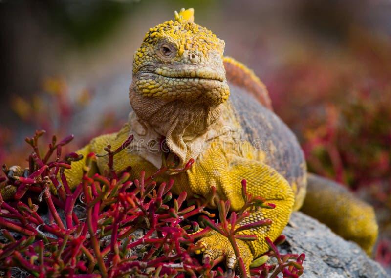 La iguana de la tierra que se sienta en las rocas Las islas de las Islas Gal3apagos Océano Pacífico ecuador foto de archivo
