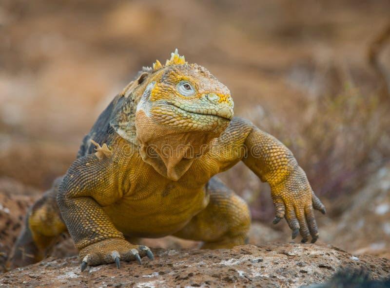 La iguana de la tierra que se sienta en las rocas Las islas de las Islas Gal3apagos Océano Pacífico ecuador imagen de archivo
