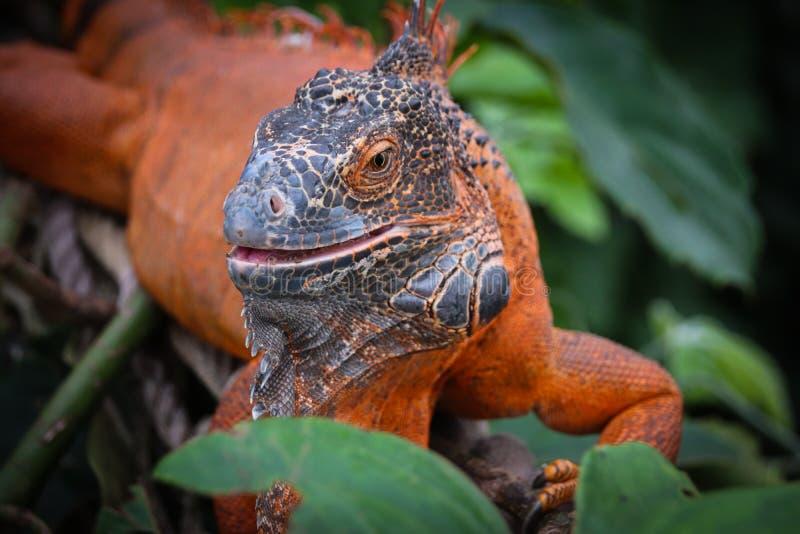 La iguana es un g?nero de lagartos herb?voros foto de archivo libre de regalías