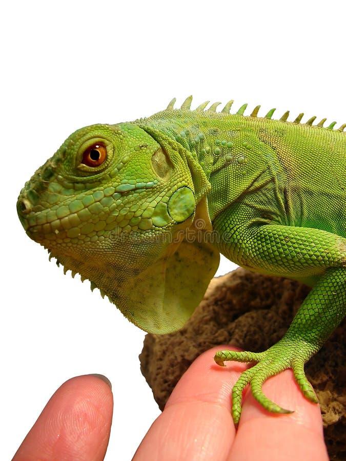 La iguana sacude las manos con en el hombre imágenes de archivo libres de regalías