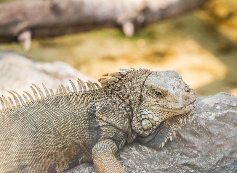 La iguana se encaramó en una roca stock de ilustración