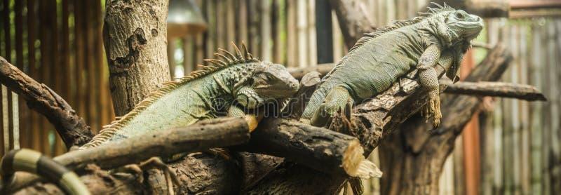 La iguana verde de la iguana de la iguana, también conocida como iguana americana, es una grande, arbóreo, lagarto Encontrado en  fotos de archivo libres de regalías