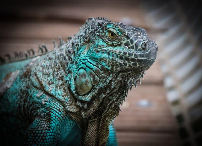 La iguana verde, iguana de la iguana, también conocida como la iguana americana foto de archivo libre de regalías