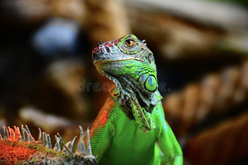 La iguana verde hermosa se sienta en un árbol fotos de archivo libres de regalías