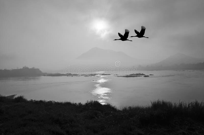 La imagen blanco y negro del vuelo cranes por la mañana imágenes de archivo libres de regalías
