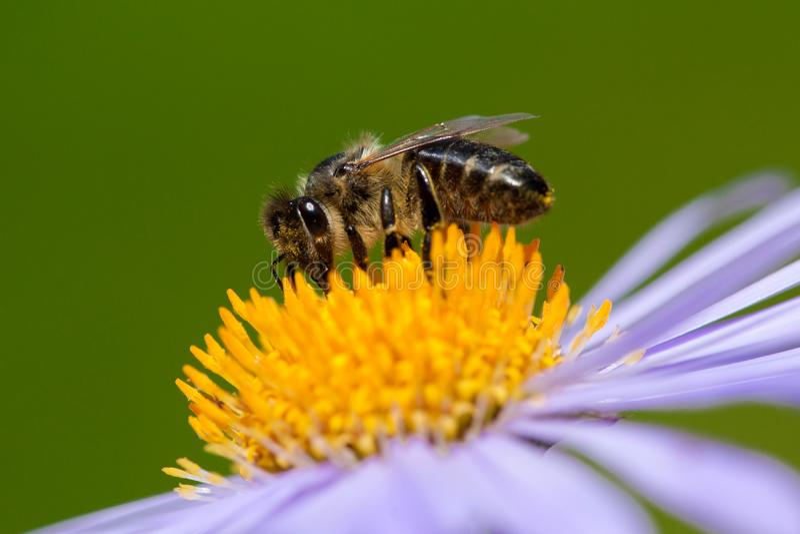 La imagen de la abeja o de la abeja en la flor violeta recoge el néctar imágenes de archivo libres de regalías