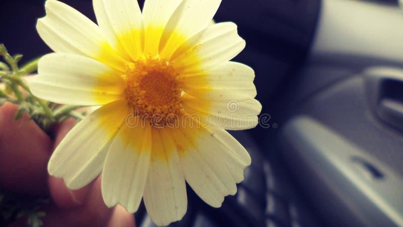 La imagen de la manzanilla florece con un fondo para un bolso negro foto de archivo