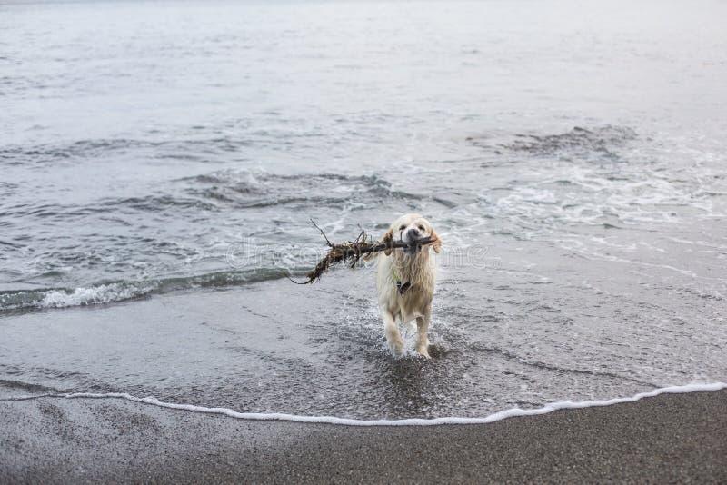 La imagen de un golden retriever divertido de la raza del perro se divierte en la playa despu?s de nadar con el palillo fotografía de archivo