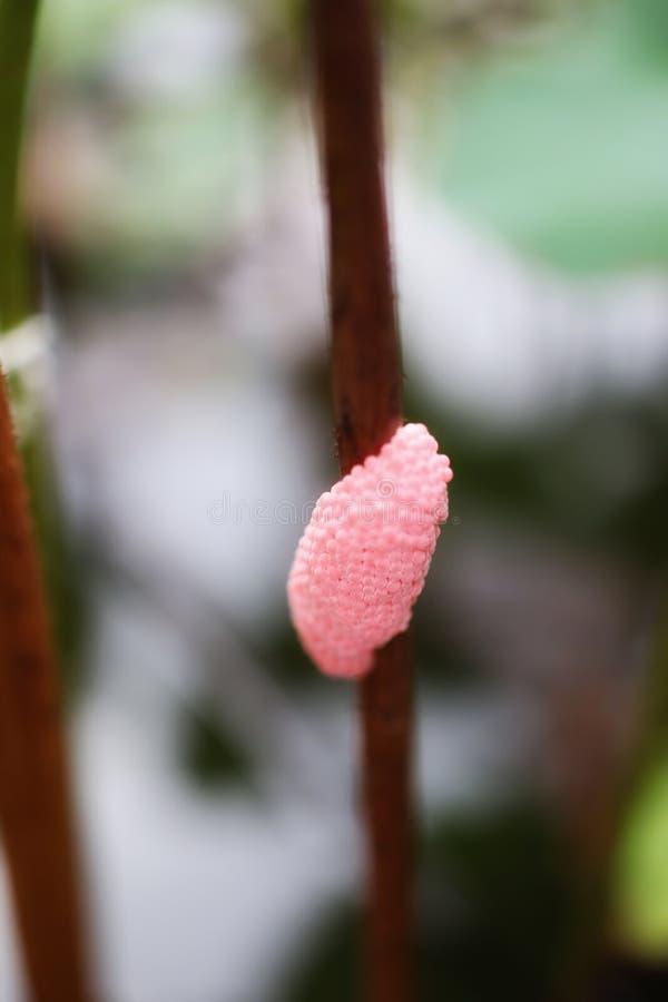 La imagen del primer del grupo rosado del huevo del caracol empañó el fondo de la naturaleza fotografía de archivo libre de regalías