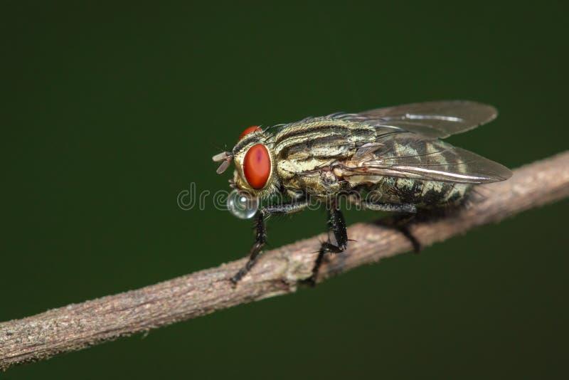 La imagen del vuela el díptero en rama marrón en un fondo natural insecto Animal imagen de archivo