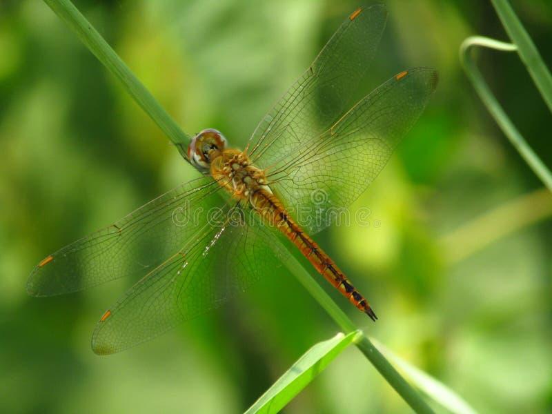 La imagen detallada hermosa de una libélula amarilla se encaramó en la rama del árbol imagen de archivo