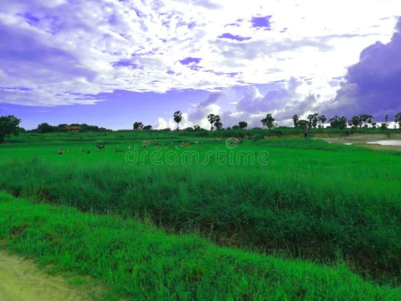 La imagen impresionante del campo de arroz fotografía de archivo libre de regalías