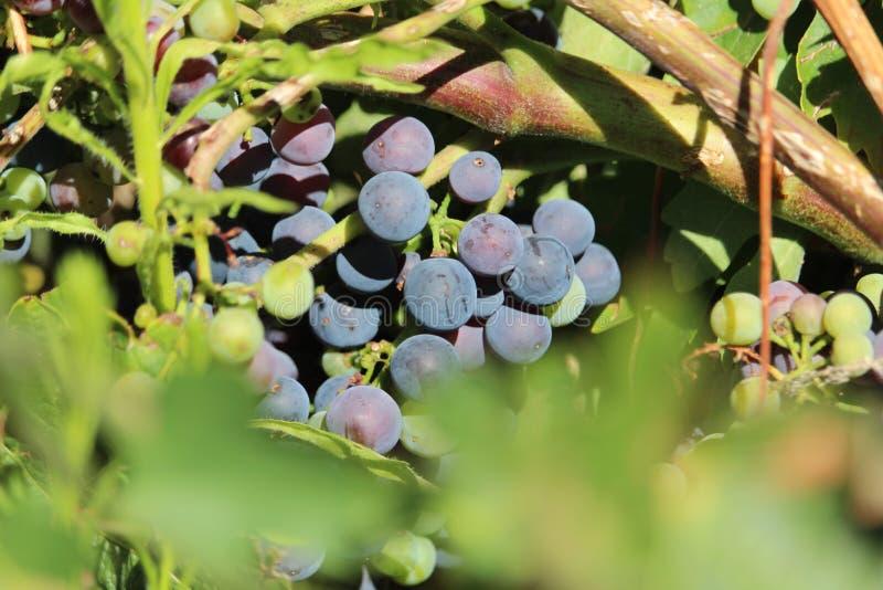 La imagen preciosa del manojo de uvas maduras listas para ser recogido y para ser procesado en el vino imagen de archivo