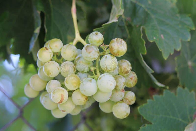 La imagen preciosa del manojo de uvas maduras listas para ser recogido y para ser procesado en el vino imagenes de archivo