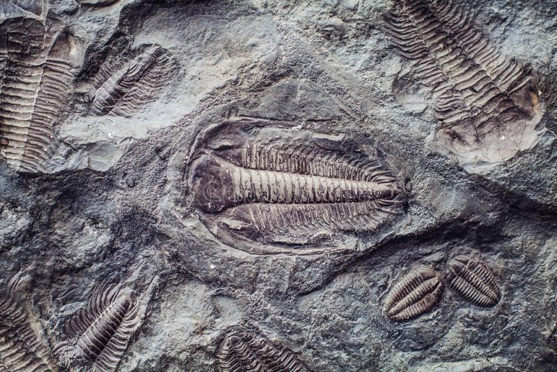 La impresión de los trilobites antiguos en una piedra Trilobites, un grupo fósil de artrópodos marinos extintos del arachnomorph imagenes de archivo