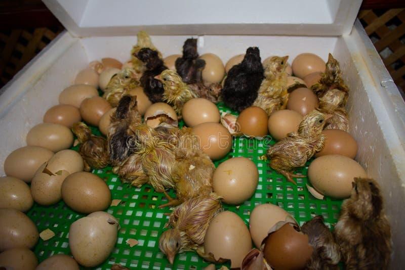 La incubadora del huevo del pollo nació y vive de animales Incubadora para los pájaros y los animales foto de archivo