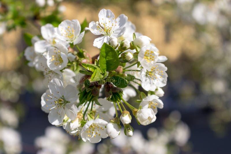 La inflorescencia de la floración blanca florece el primer contra jardín unfocused de la primavera Concepto del flor de la primav fotografía de archivo