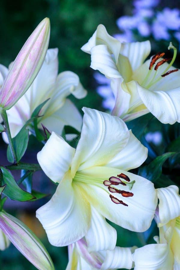 La inflorescencia de las flores del lirio blanco con las hojas verdes crece en el jardín en el comienzo del verano, fotos de archivo