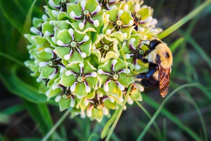 La inflorescencia del antelopehorn de la araña y manosea la abeja fotografía de archivo