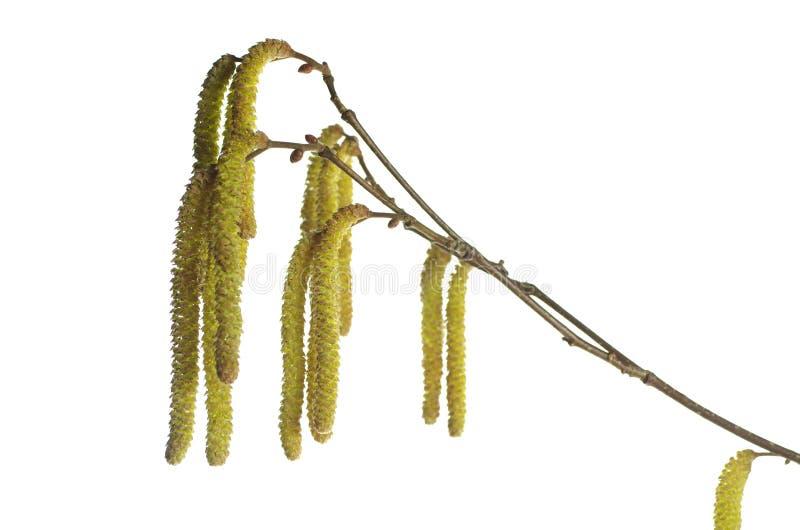 La inflorescencia del avellano foto de archivo